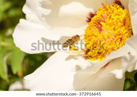 bee with pollen on his legs near peony flower - stock photo