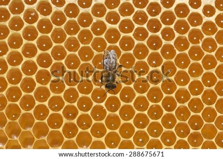 bee work on honeycomb - stock photo