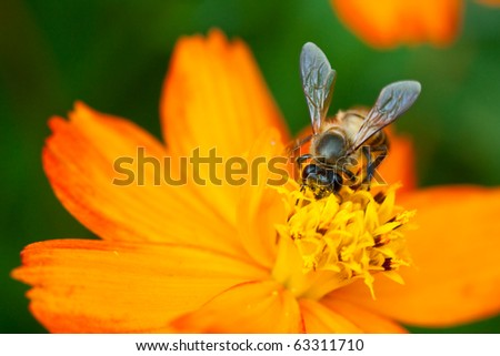 bee worker with macro shot is sitting in the flower - stock photo