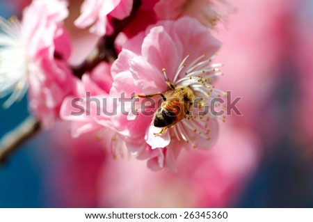 bee working in the peach flowers - stock photo