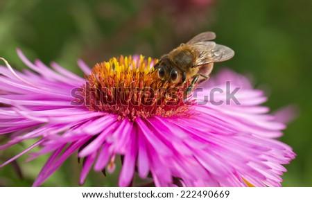 Bee working on michaelmas flower. - stock photo