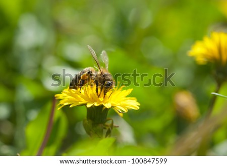 Bee working on yellow dandelion. - stock photo