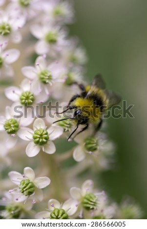 Bee working over a white wild flower - stock photo