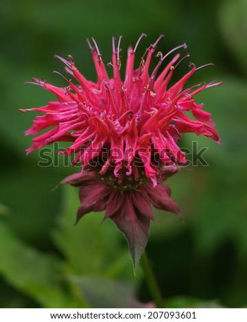 Beebalm (monarda didyma) a medicinal and edible flower, also known as bergamot; selective focus - stock photo