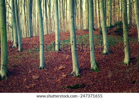 Beech forest. - stock photo