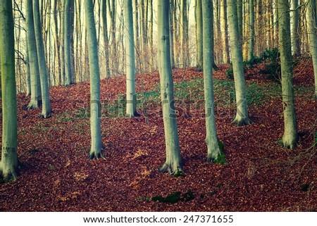 Beech forest. - stock photo
