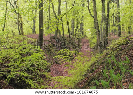 Beech forest during early spring - stock photo