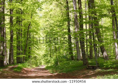 Beech forest during spring with lots of fresh green leaves - stock photo