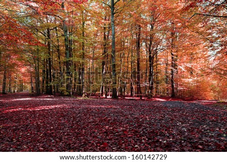Beech forest in autumn with sunshine.