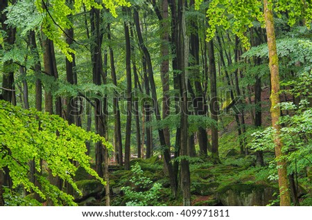 beech forest in Harz Mountains in fog - stock photo