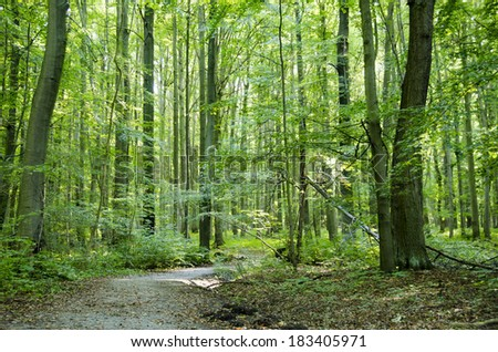 Beech forest in summer - stock photo