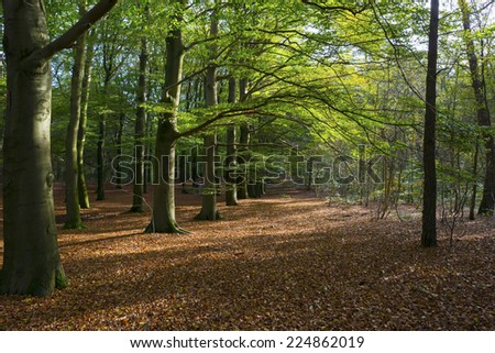 Beech forest in sunlight at fall - stock photo