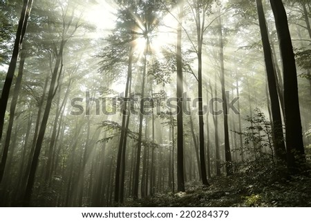 Beech forest in the fog after rainfall. - stock photo