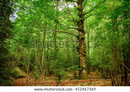 Beech forest in the mountains of the spanish Pyrenees