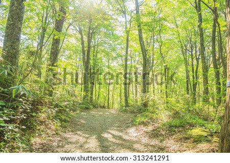 Beech forest of Shirakami-Sanchi, world Heritage, Aomori, Japan - stock photo