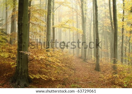 Beech forest on a foggy autumn day. Photo taken in the mountains of Central Europe. - stock photo