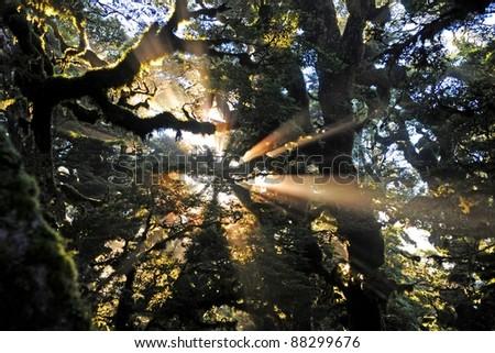 Beech forest on the Lake Waikaremoana Great Walk, New Zealand - stock photo