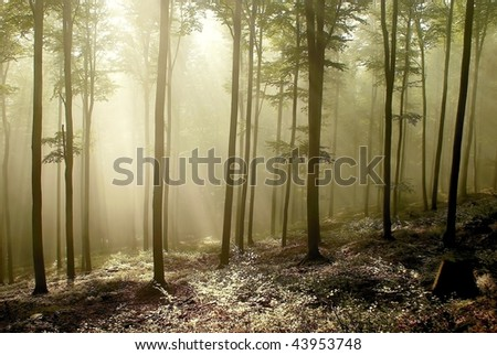Beech forest on the mountain slope at dawn after a few weekly rainfall. - stock photo