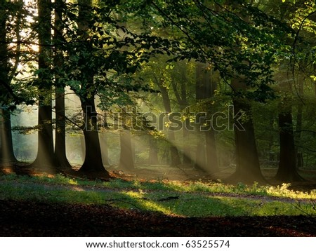 beech forest with fog and warm sunshine in autumn, fall - stock photo