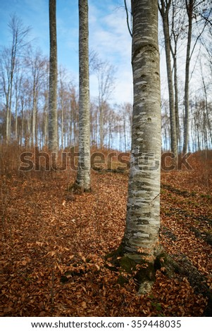 Beech forest with naked trees and fallen leaves in autumn