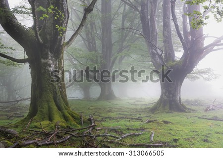 Beech Gorbea Natural Park in Bizkaia Basque Country spain in a wet and foggy day. - stock photo