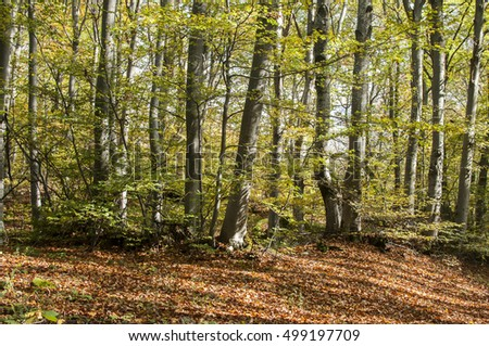 Beech mountain forest with fallen dry leaves in autumn