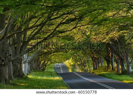 Beech tree avenue at Kingston Lacey, Dorset, UK - stock photo