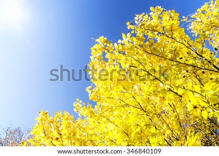 Beech tree branches with yellow dried leaves and bright blue autumn sky - stock photo