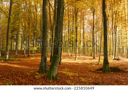 Beech tree forest in Autumn.North Poland/Beech tree forest in Autumn - stock photo