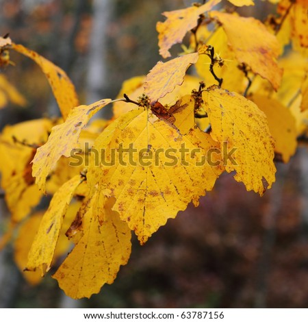 Beech tree in fall colors - stock photo
