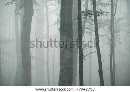 beech tree trunks in dense fog - stock photo
