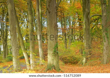 Beech trees, Fagus sylvatica, with a slight Autumn breeze blowing through the leaves, Painswick Wood, The Cotswolds, UK