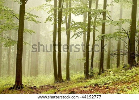 Beech trees with a dense fog in the background and mysterious light in the distance.