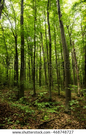 Beeches widespread temperate zone europe asia stock photo 468748727 beeches are widespread in the temperate zone of europe asia and north america its altavistaventures Image collections
