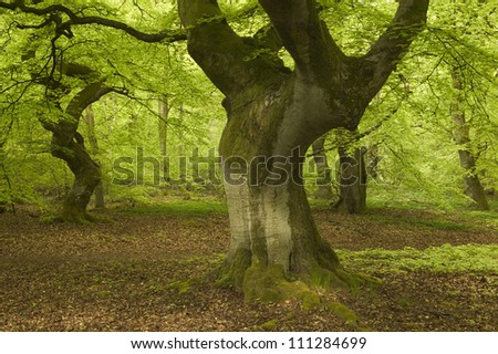 Beeches in a forest