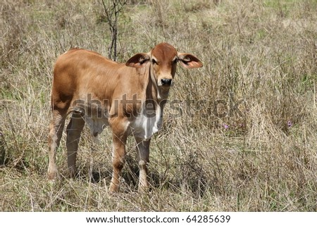 beef cattle australia standing in dry outback grass - stock photo
