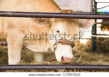 Beef cattle breeders in a stable - stock photo