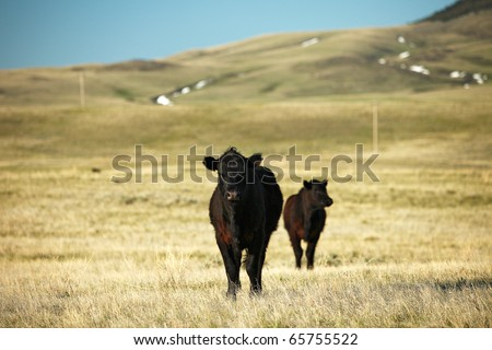 Beef cattle grazing on the wide open plains. - stock photo
