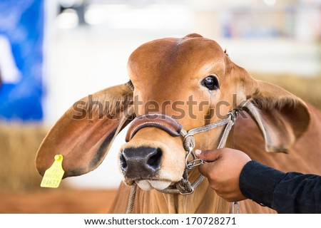 Beef cattle judging contest - stock photo