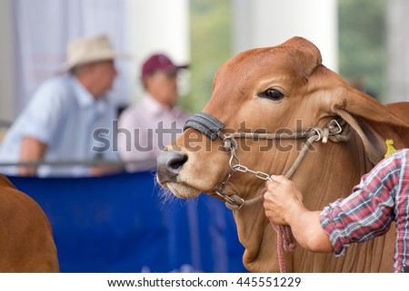 Beef cattle judging contest, Close up American Brahman brown - stock photo