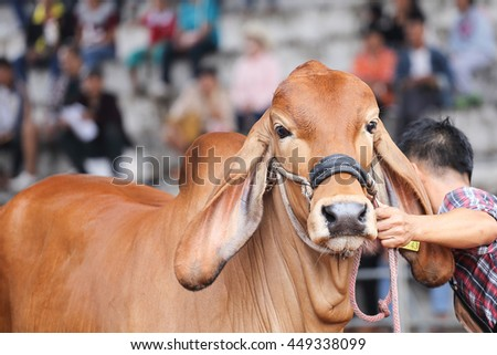 Beef cattle judging contest, Close up American Brahman brown
