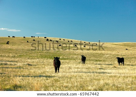 Beef cattle scattered across a prairie pasture somewhere in the American west.