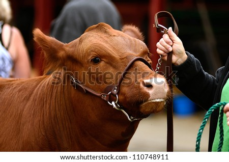 Beef cattle (Steers) waiting before a county fair judging contest - stock photo