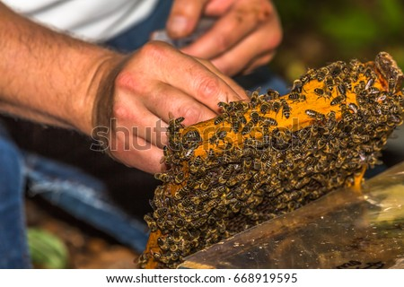 beekeeper catches bee queen  for tagging, on honeycomb removed from the hive
