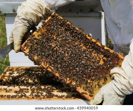 beekeeper checks honeycomb during inspection beehive - stock photo