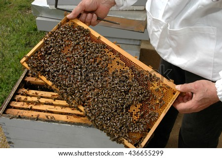 Beekeeper controls the honeycomb, bees and their activities in protective suit - stock photo