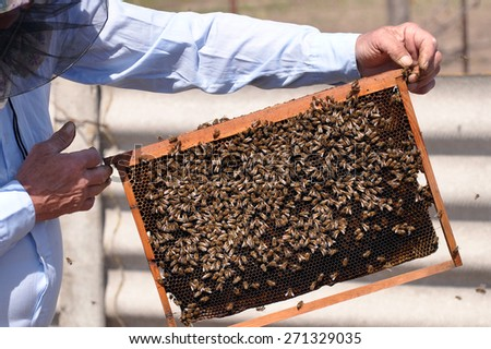 Beekeeper holding a frame of honeycomb. Working bee on honeycomb. Honeycomb with bees and honey. Work bees in hive. Beekeeper checking a beehive. - stock photo