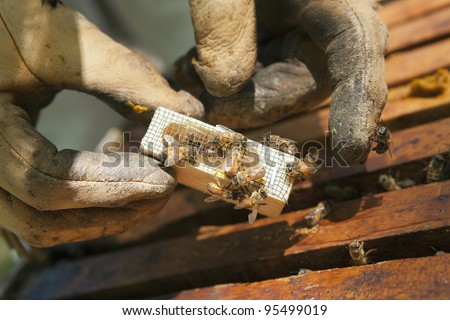 Beekeeper introducing a new queen bee in an introduction cage to the hive - stock photo