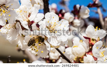 Beekeeping in the garden. A bee collects nectar on a blossoming apricot branch. Hard work on a Sunny spring day. Ukraine - stock photo