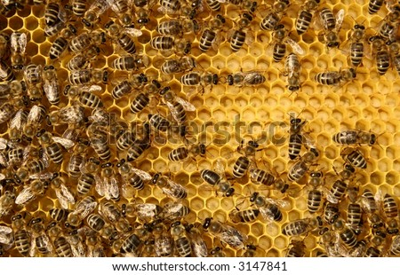 bees and larva on honeycomb - stock photo